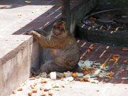 Gib monkey feeding