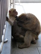 Gib monkey picky