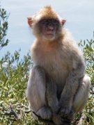 Gib monkey pose