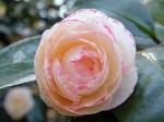 camellia margaret