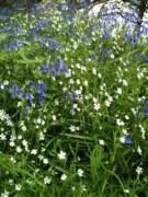 bluebells & daisy