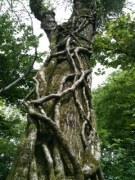 ivy up tree