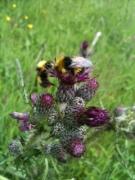 bee cluster