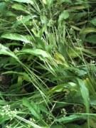 flat garlic