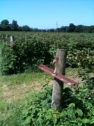 rows of raspberries