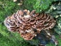 fungus platelets