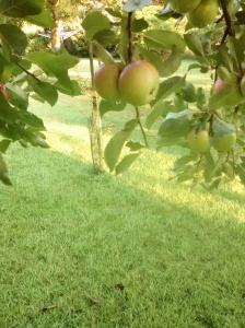 green apples see tree
