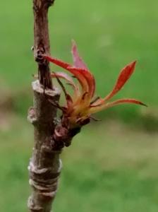 leaves new shoot