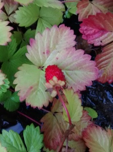 A bright red strawberry growing amongst the autumn leaves.