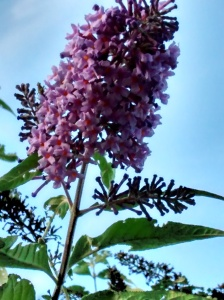 A new buddleia flower blooming in the late summer