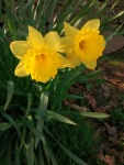 Wales' national flower, the daffodil, filled the verges